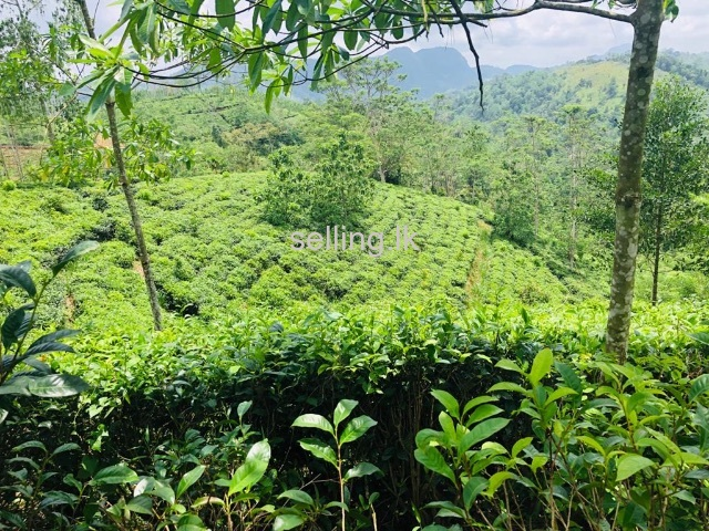 Tea Estate With Bungalow For Sale In Opatha, Galle