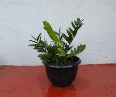 Zanzibar Gem Plant (money Plant)
