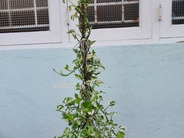 Money Plant 6