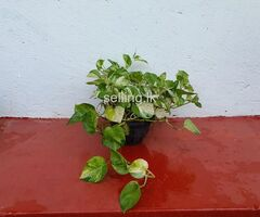 Money Plant 3
