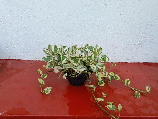Money Plant 4