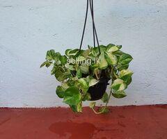 Money Plant 05