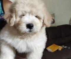 Tibetan terrier puppy for sale