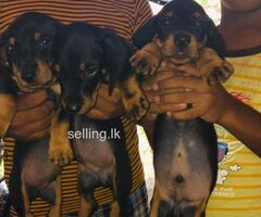 Dashhound puppy for sale