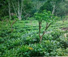 Precious Tea State In Galle