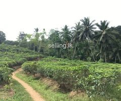 Tea Land (mixed Cropping with Coconut) For Sale In Galle, Mabotuwana.