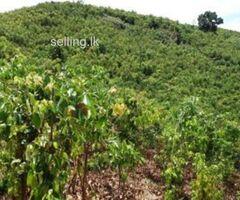 Cinnamon land for best price (සුන්දර පරිසරයක පිහිටි සාරවත් කුරුඳු ඉඩම)