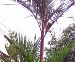 Red Palm Trees for Immediate sale