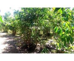කුරුඳු ඉඩම | cinnamon land 2.5 acres