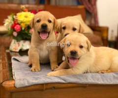 Labdadore Puppies