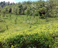 Tea Cultivated land