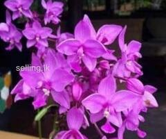 ground orchids for sale