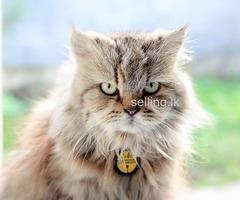 Persian Cat for Crossing