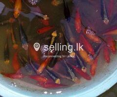 Aquarium Fishs for sale