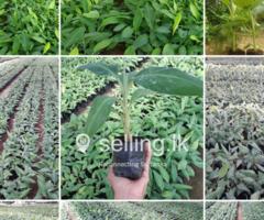 Tissue Culture Kolikuttu Banana Plants