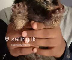 Lionshephererd puppies for sale