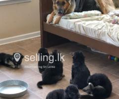 Available German shepherd puppies