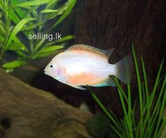 convict Chichlids for sale