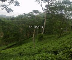 TEA LAND FOR SALE