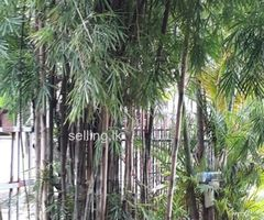 Bambo tree for sale