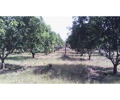 mango land in wellawaya